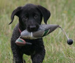 bird atb hunting dog training