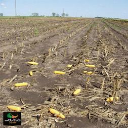 Greenhead Gear Field Corn Decoy,Dozen
